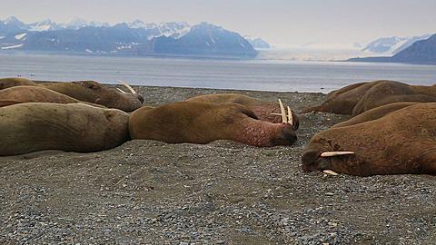 Walrus (Odobenus rosmarus), pan across group sleeping, Antarctica - 1159-1194