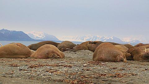 Walrus (Odobenus rosmarus), pan across group sleeping, Antarctica - 1159-1198