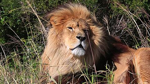African lion (Panthera leo) portrait in wind (some camera bounce), Africa - 1159-1199