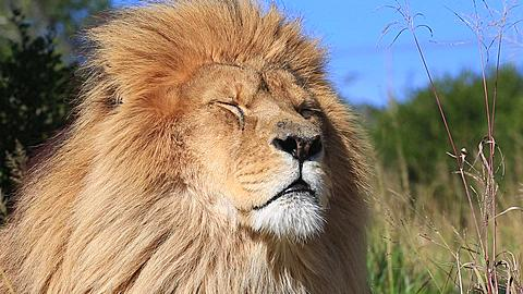 African lion (Panthera leo) portrait in wind (some camera bounce), Africa - 1159-1203