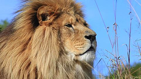 African lion (Panthera leo) portrait in wind (some camera bounce), Africa - 1159-1204