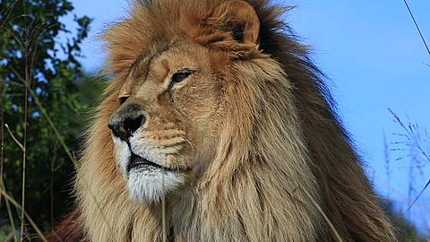 African lion (Panthera leo) portrait in wind (some camera bounce), Africa - 1159-1205