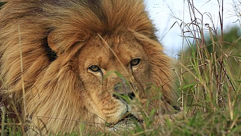 African lion (Panthera leo) portrait in wind (some camera bounce), low head some snarling, Africa