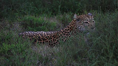 African leopard (Panthera pardus) lying down, sits up, some wind bounce, Africa - 1159-1211