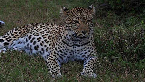 African leopard (Panthera pardus) lying down, portrait, Africa - 1159-1215