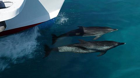 Two Atlantic Spotted Dolphins bowriding