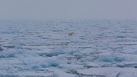 Mid distant shot of polar bear (Ursus maritimus) moving over sea ice, Antarctica - 1159-1227
