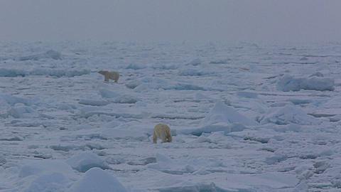 Mid shot of polar bear (Ursus maritimus) walking, another polar bear behind, Antarctica - 1159-1229