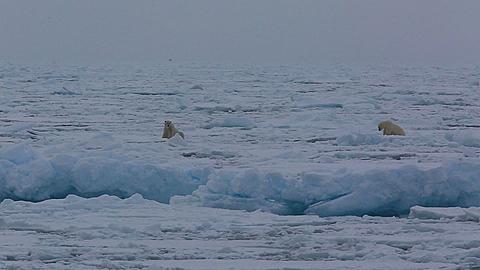 Two shot polar bears (Ursus maritimus) sitting on sea ice, Antarctica