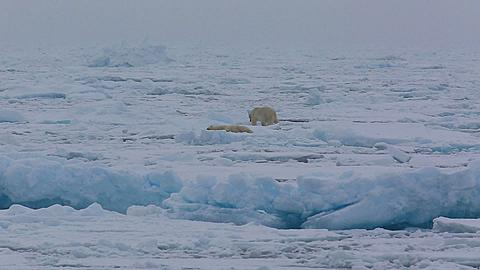 Two shot polar bears (Ursus maritimus) one walks past the other, heavy snow and some camera bounce, Antarctica