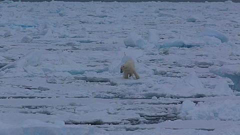 Mid shot of polar bear (Ursus maritimus) walking and surveying sea ice, jumps between sea ice, Antarctica - 1159-1237