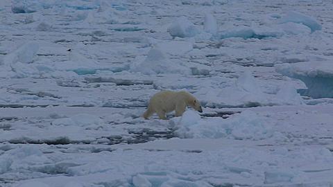 Mid shot of polar bear (Ursus maritimus) walking on sea ice toward camera, Antarctica - 1159-1241