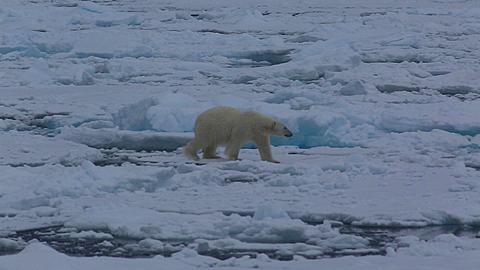Mid shot of polar bear (Ursus maritimus) walking on sea ice toward camera, Antarctica - 1159-1242