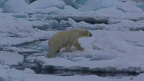 Medium shot of polar bear (Ursus maritimus) walking on sea ice, Antarctica - 1159-1243