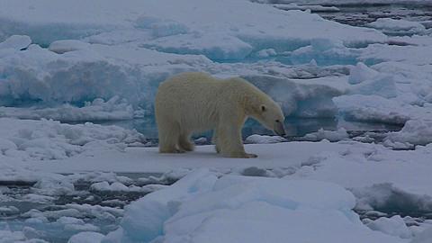 Medium shot of polar bear (Ursus maritimus) walking on sea ice, looks to camera, Antarctica - 1159-1245