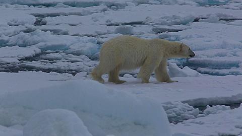 Medium shot of polar bear (Ursus maritimus) looks to camera, walks out of frame right, Antarctica - 1159-1246
