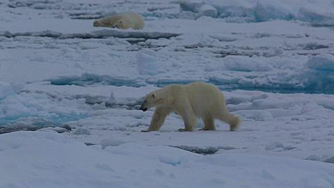 Two shot polar bears (Ursus maritimus) walking on sea ice,one walks foreground, the other asleep in background, Antarctica
