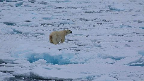 Mid shot of polar bear (Ursus maritimus) behaviour on sea ice, testing sea ice by pushing down, Antarctica - 1159-1251
