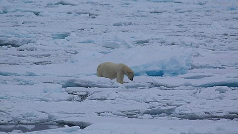 Mid shot of polar bear (Ursus maritimus) moving awkwardly over sea ice, Antarctica - 1159-1253