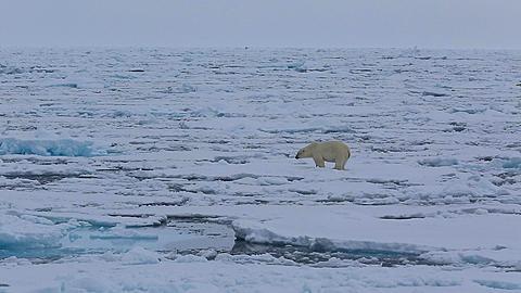 Mid distant shot of polar bear (Ursus maritimus) pawing at sea ice, Antarctica - 1159-1257