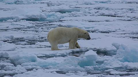 Medium shot of polar bear (Ursus maritimus) looks to camera, Antarctica - 1159-1264