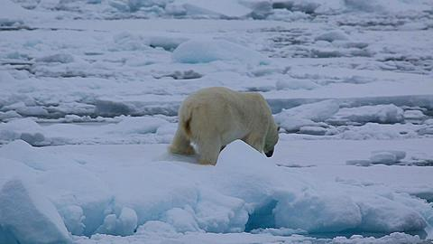 Medium shot of polar bear (Ursus maritimus) walking awkwardly over sea ice, Antarctica - 1159-1266