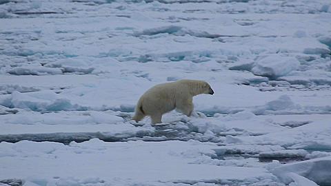 Mid shot of polar bear (Ursus maritimus) moving expertly over sea ice, Antarctica - 1159-1269