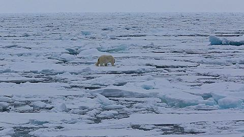 Mid distant shot of polar bear (Ursus maritimus) moving awkwardly over sea ice, sea ice to horizon, Antarctica - 1159-1270