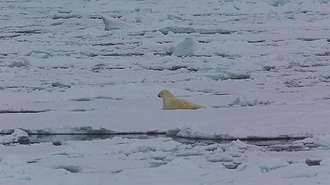 Mid shot of polar bear (Ursus maritimus) rolling on sea ice, gets up and walks off, Antarctica - 1159-1272