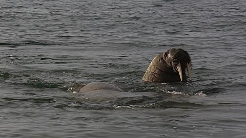 Walrus (Odobenus rosmarus), medium shot of group in shallows, Antarctica - 1159-1277