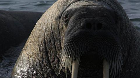 Walrus (Odobenus rosmarus), close group in shallows, tusks and whiskers/vibrissae in shot, Antarctica