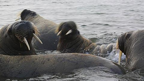 Walrus (Odobenus rosmarus), medium shot of group in shallows with some fighting territorial behaviour, Antarctica