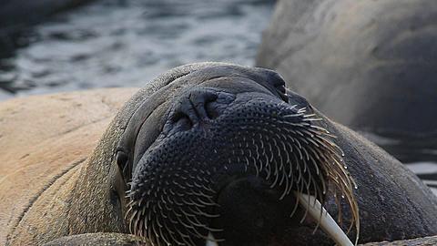 Walrus (Odobenus rosmarus), close adult face resting on another, Antarctica - 1159-1288