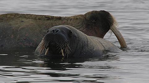 Walrus (Odobenus rosmarus), medium close pair interact (pre-mating nuzzling with tusks?), Antarctica - 1159-1296