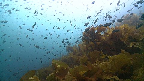 POV rack above low kelp with lots of fish above