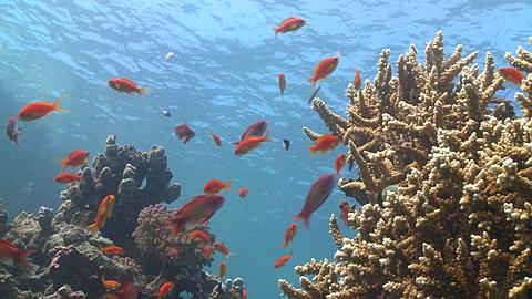 Coral goldfish (Anthias squamipinnis) around reef head