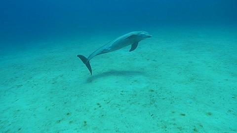 Bottlenose dolphin (Tursiops truncatus) swims., Roatan Island, Honduras  - 1159-440