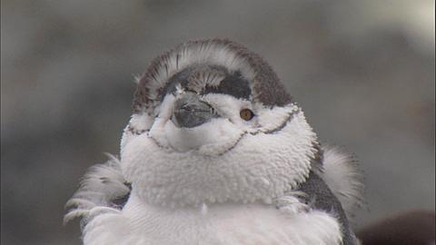 Chinstrap penguin (Pygoscelis antarctica) moulting chicks preens