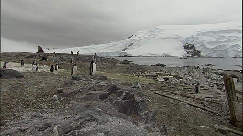 Gentoo penguin (Pygoscelis papua) colony with Antarctic fur seal, boats and whale bones