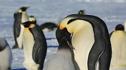Emperor penguin (Aptenodytes fosteri) adult feeds chick  - 1159-937