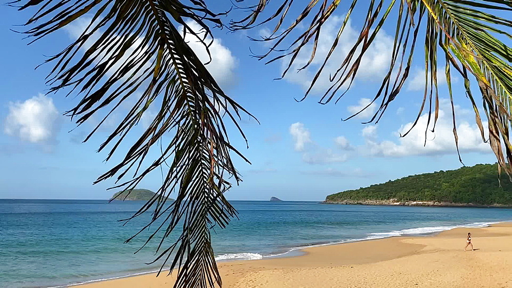 Tropical Anse de la Perle beach, palm tree, Death In Paradise location, Deshaies, Guadeloupe, West Indies, West Indies, Caribbean, Central America