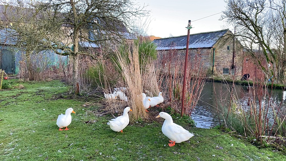 Beautiful white ducks at Caudwells Mill, Grade II listed historic water power mill, Rowsley, Peak District, Derbyshire, England, United Kingdom, Europe