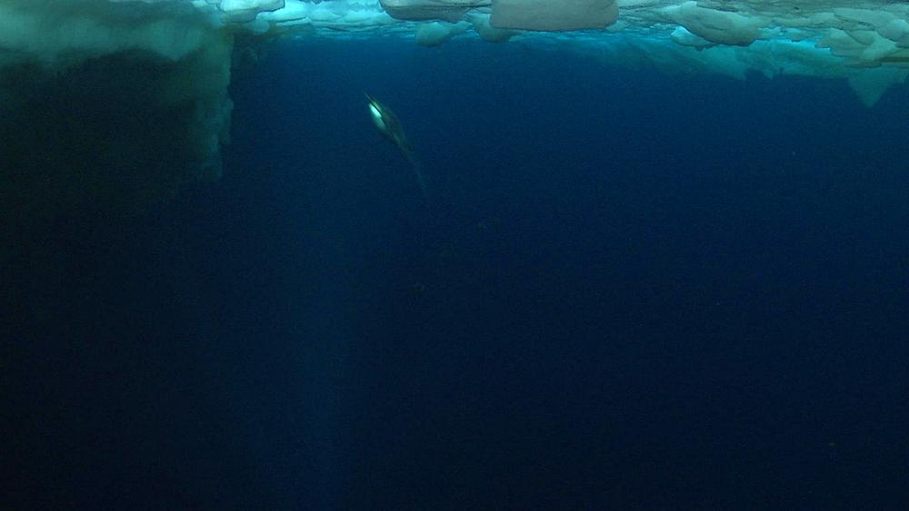 Emperor penguins (Aptenodytes forsteri) swimming to the surface and out of water, some bubble trails, underwater, Cape Washington, Antarctica - 1169-104