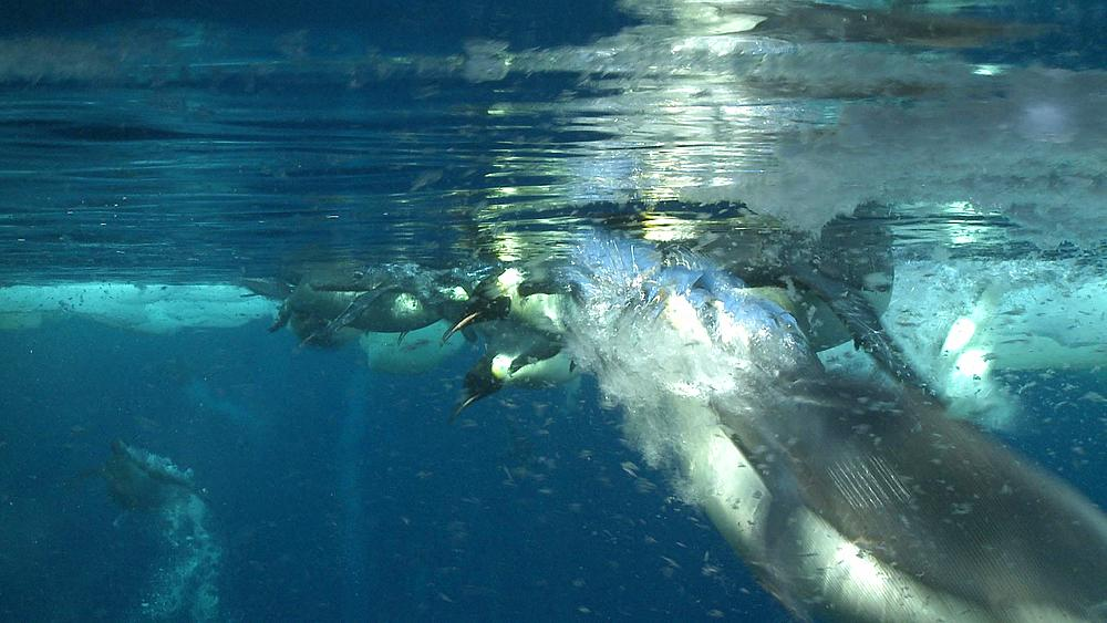 Emperor penguins (Aptenodytes forsteri) swimming at surface and looking into the depths and diving and surfacing, with bubble trails, underwater, Cape Washington, Antarctica - 1169-222