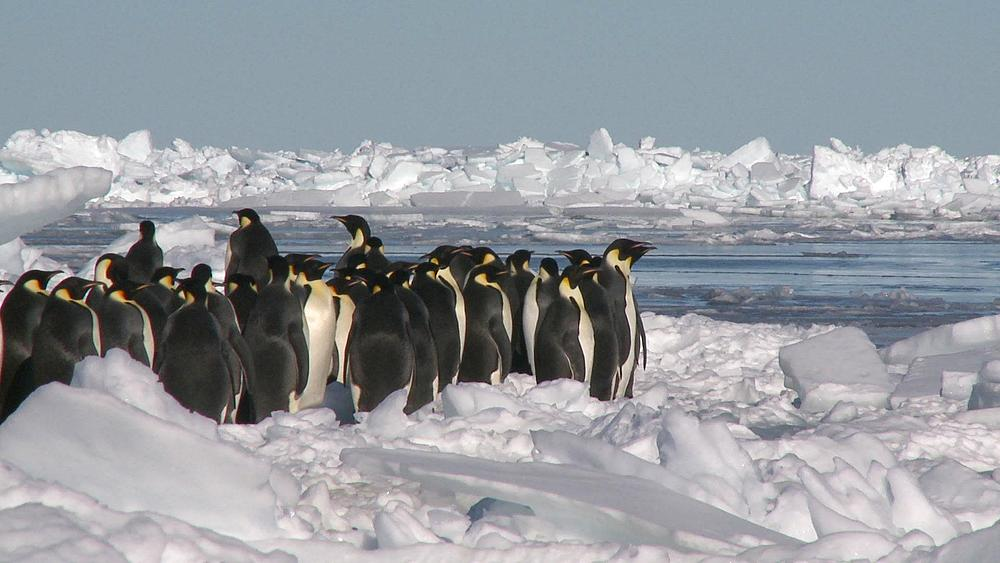 Emperor penguins (Aptenodytes forsteri) waiting in group on ice to enter hole in sea ice, Cape Washington, Antarctica - 1169-246