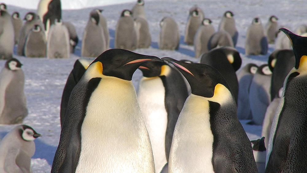 Emperor penguins (Aptenodytes forsteri), adults display at colony, Cape Washington, Antarctica - 1169-26