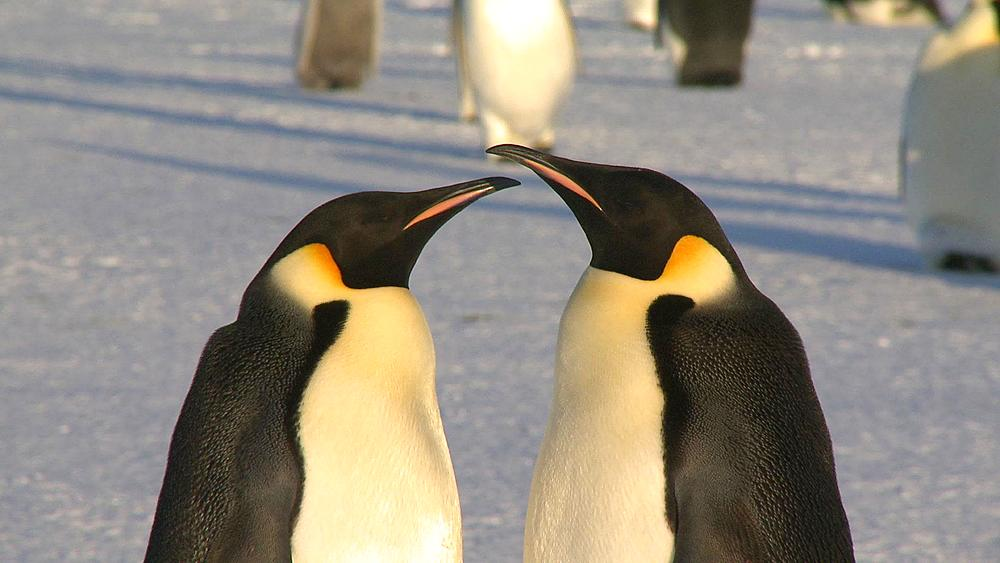 Emperor penguins (Aptenodytes forsteri), adults display at colony, Cape Washington, Antarctica - 1169-270