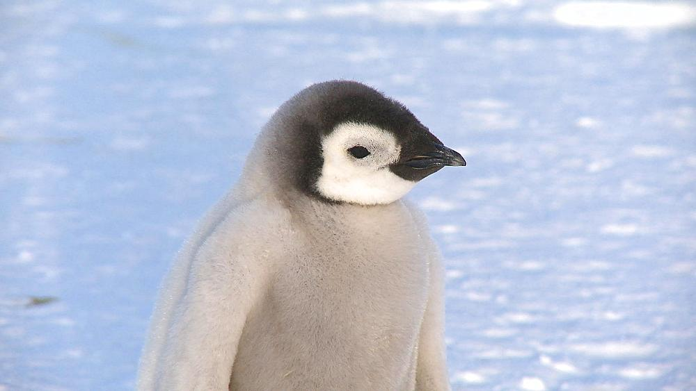 Emperor penguin (Aptenodytes forsteri), chick at colony, Cape Washington, Antarctica - 1169-274