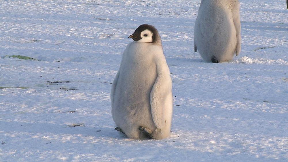 Emperor penguin (Aptenodytes forsteri), chick resting off feet, Cape Washington, Antarctica