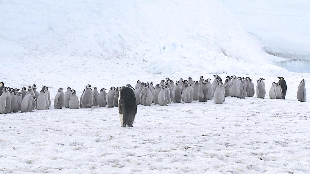 Emperor penguin (Aptenodytes forsteri), chicks at creche, Cape Washington, Antarctica - 1169-323